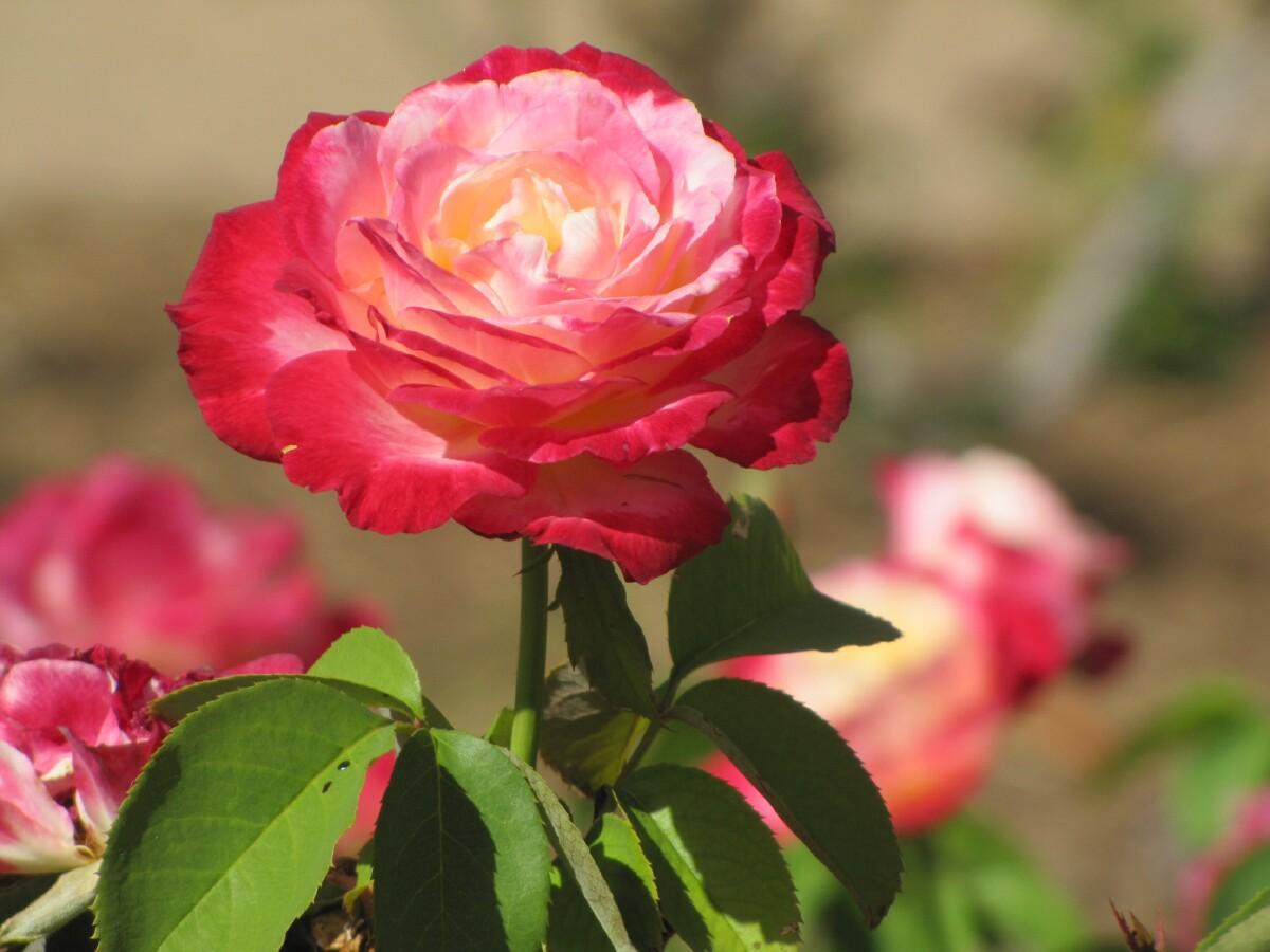 Как посадить и ухаживать за розой Дабл Делайт