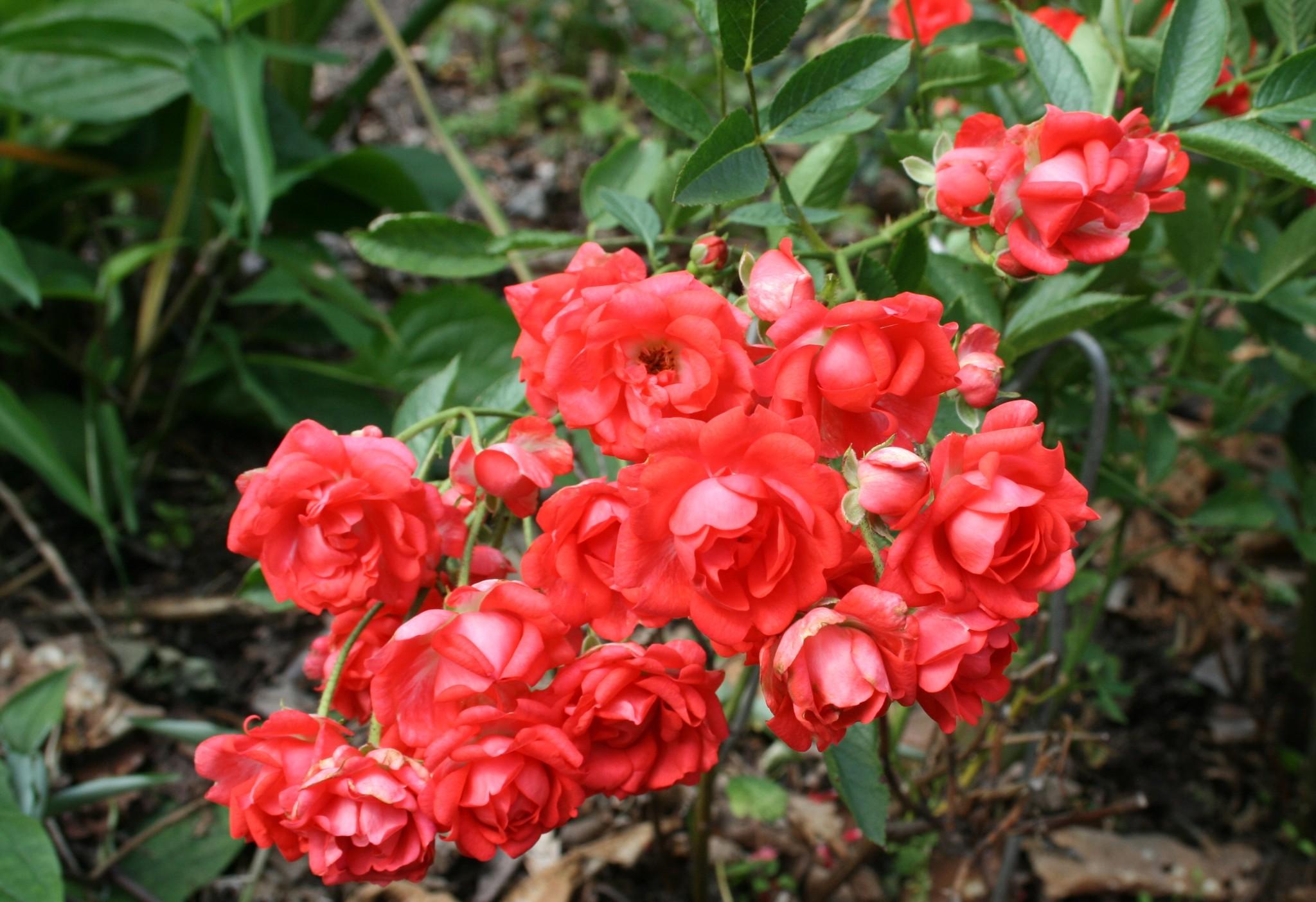 прелестям дачного розы корнесобственные цветущие фото описание только