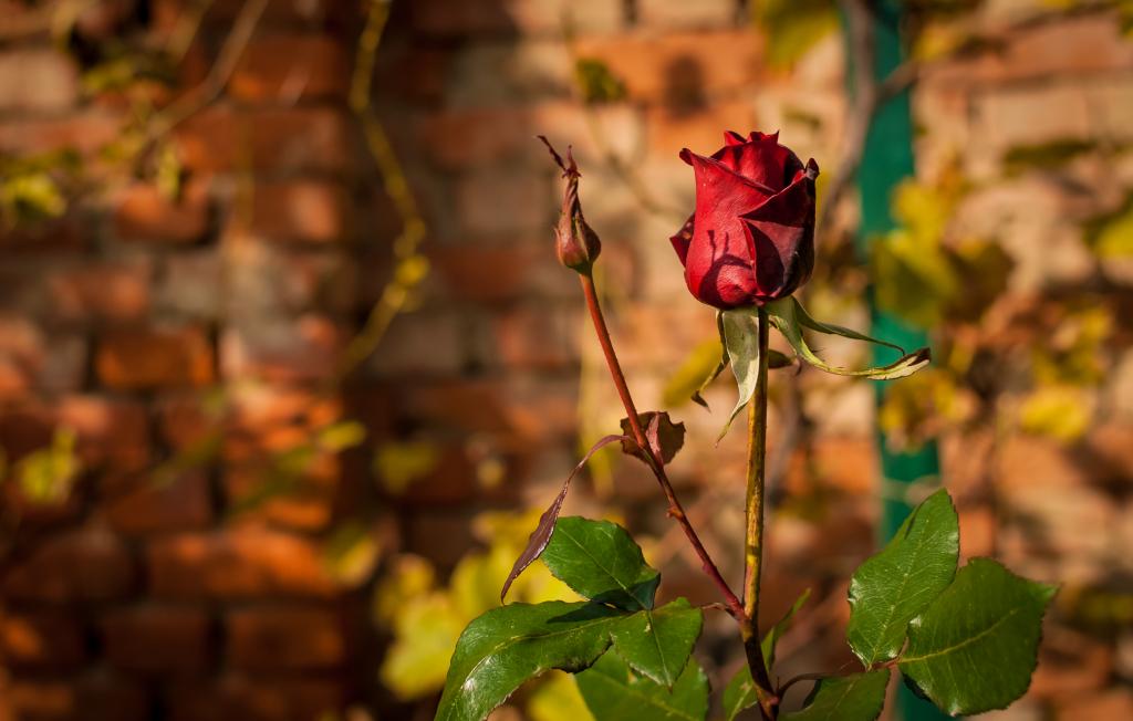 Юбилейная, картинки осенние розы