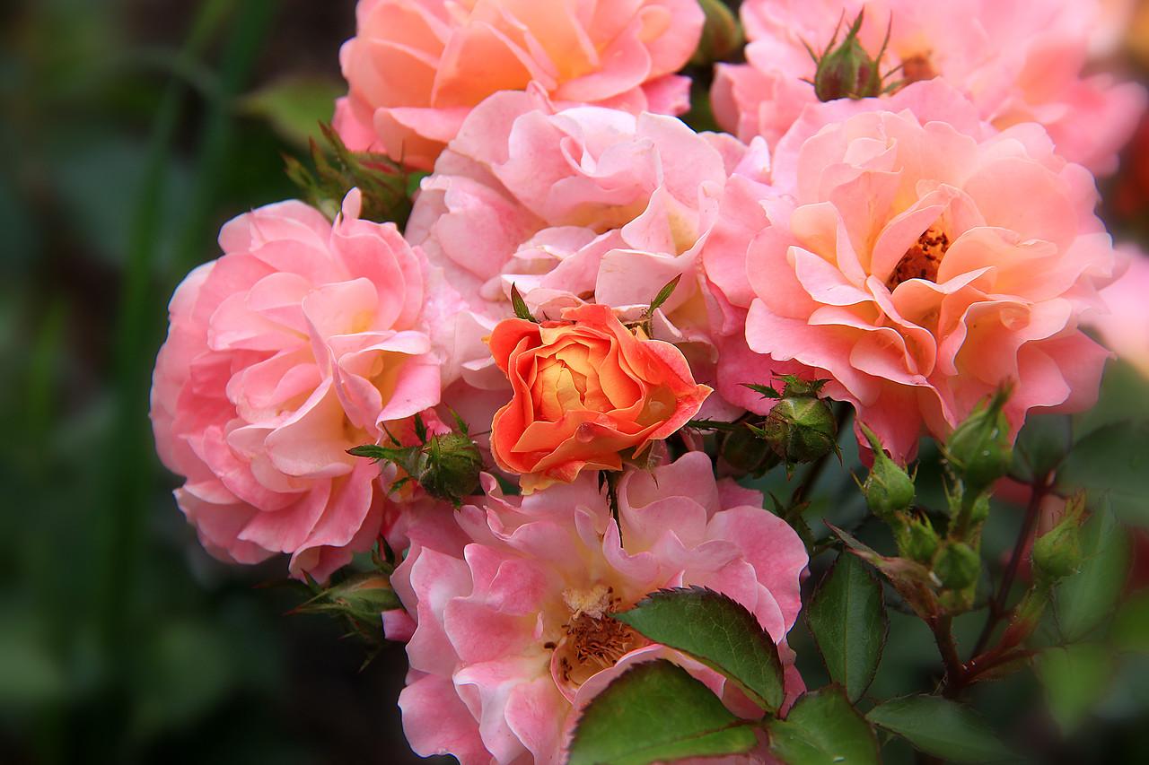 Полиантовые розы сорта и фото морозоустойчивые