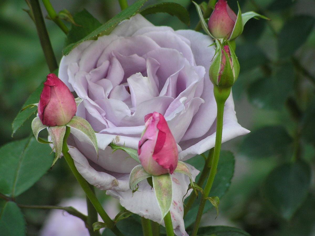 Роза плетистая голубая луна, групповое порно в барах