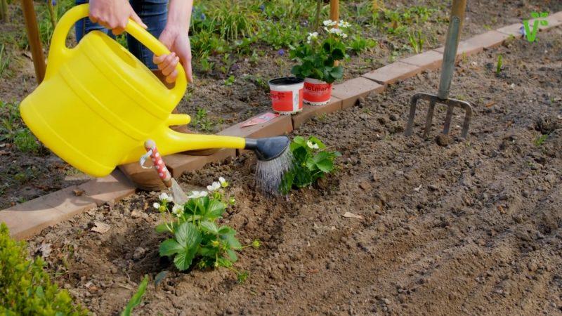 Советы по выращиванию клубники «Дарселект»