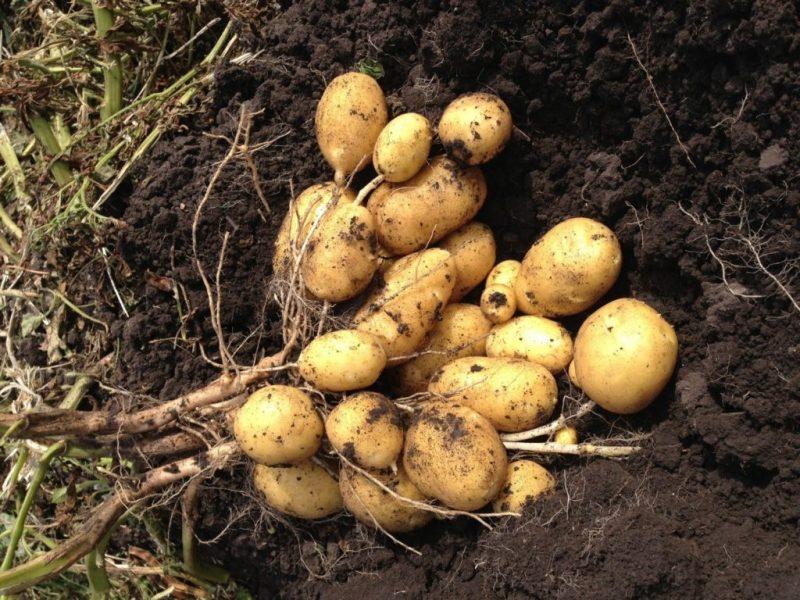 Картофель Королева Анна: описание сорта семенного картофеля, урожайность, посадка и уход