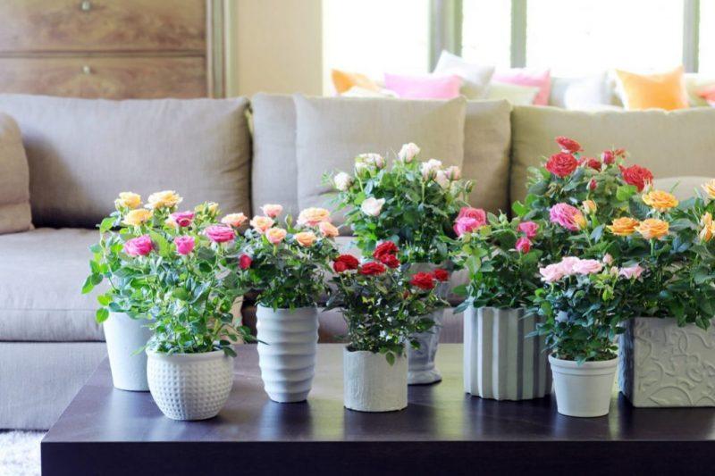 Роза Кордана: как ухаживать после покупки, выращивание в открытом грунте и домашних условиях