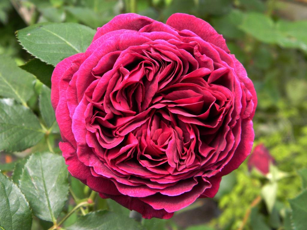 Английская роза Фальстаф (Falstaff)