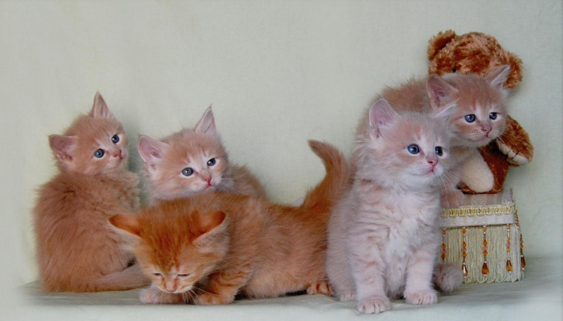 К чему снится рыжий кот женщине сонник