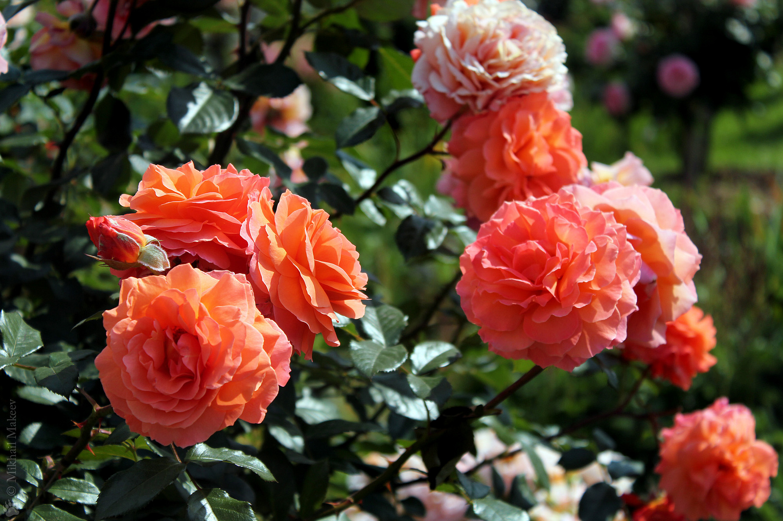 Розы черные фото всех сортов используют для