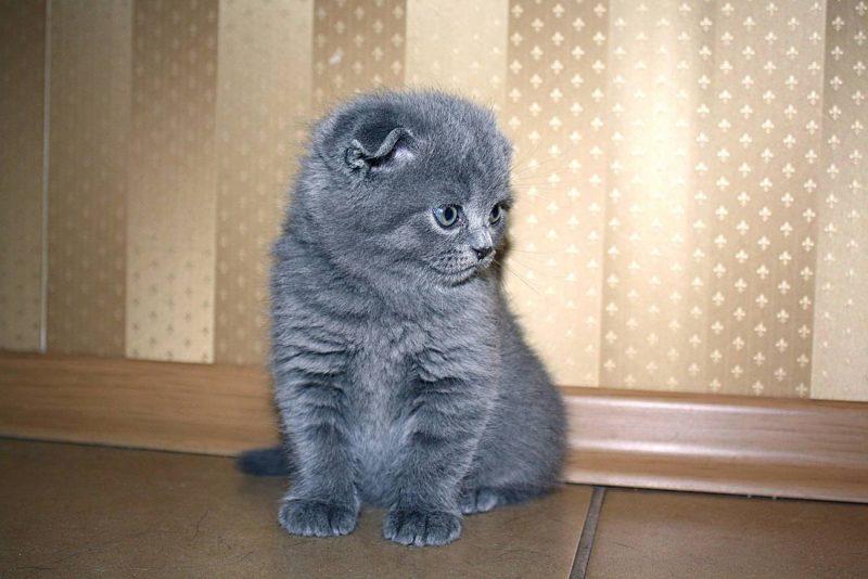 картинки котят вислоухих британцев серые огнетушитель расшифровывается как