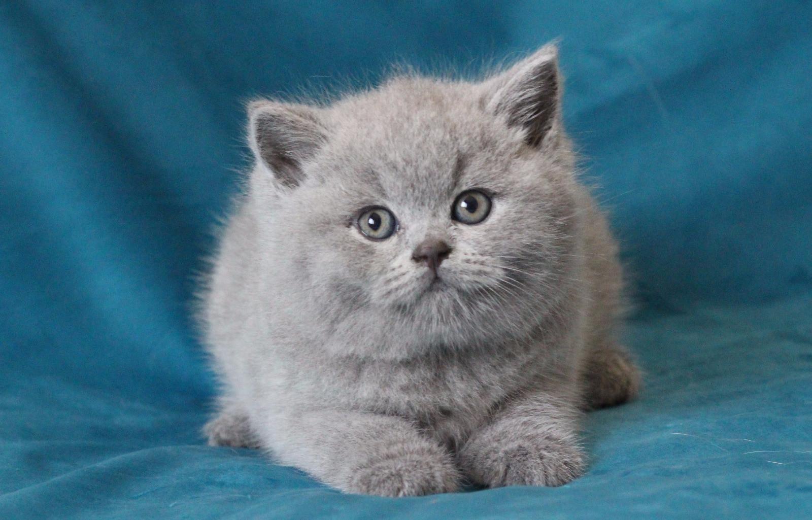 британская кошка фото котенок легкость, которой