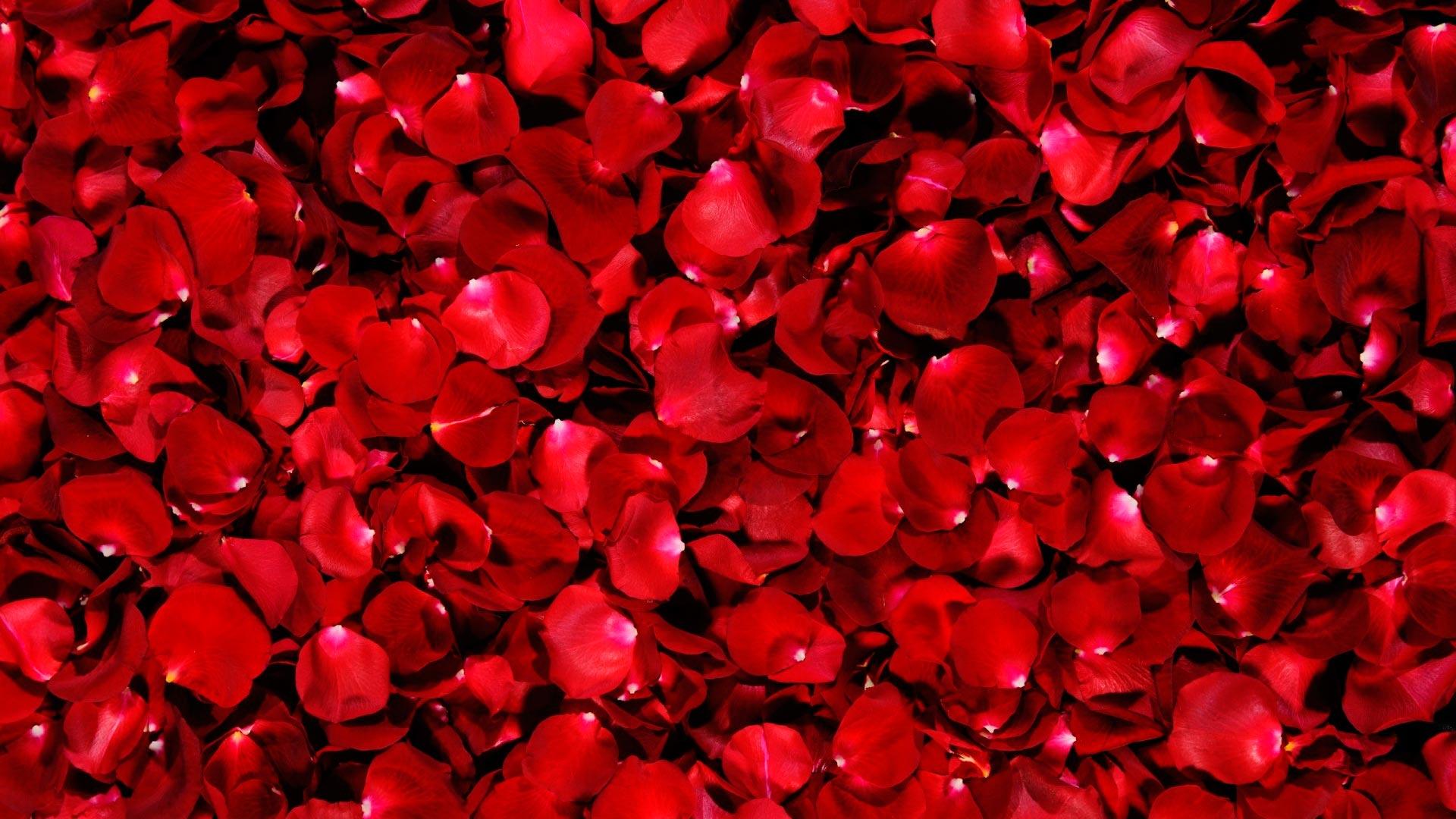 Лепестки роз в картинках