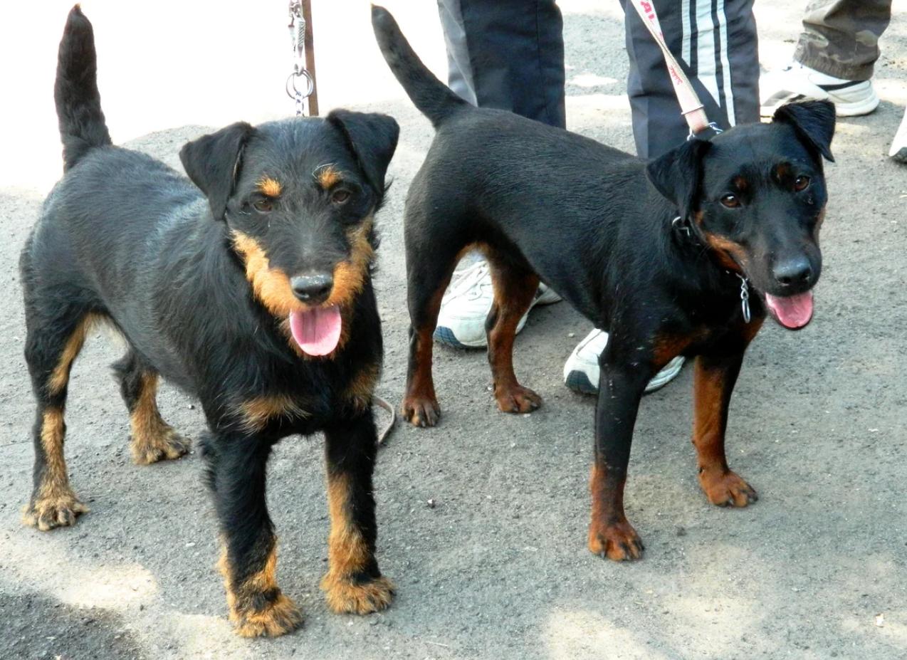 дерюгина, картинки собаки немецкий ягдтерьер сюжет после окончания