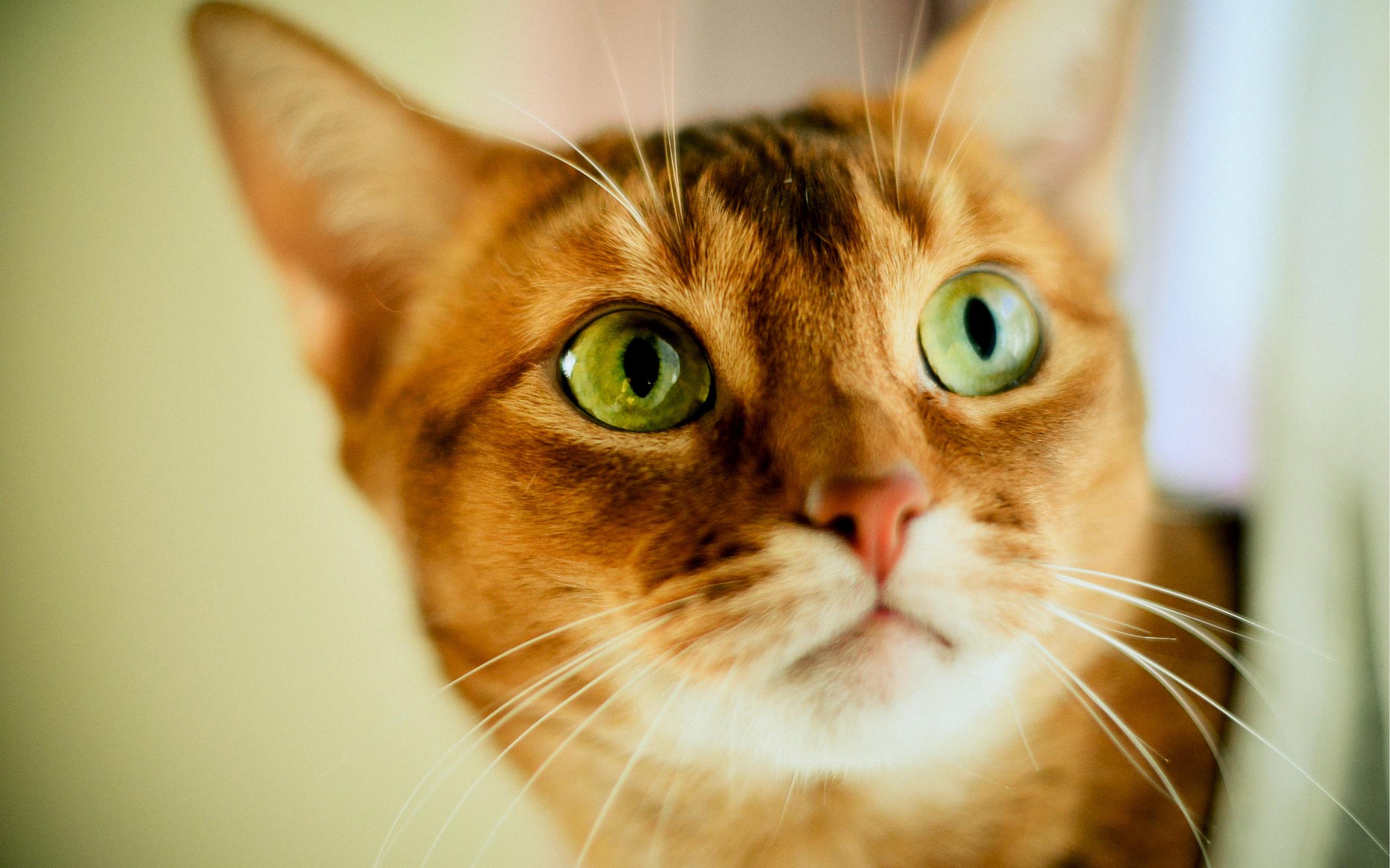 К чему снятся кошки женщине: сонник