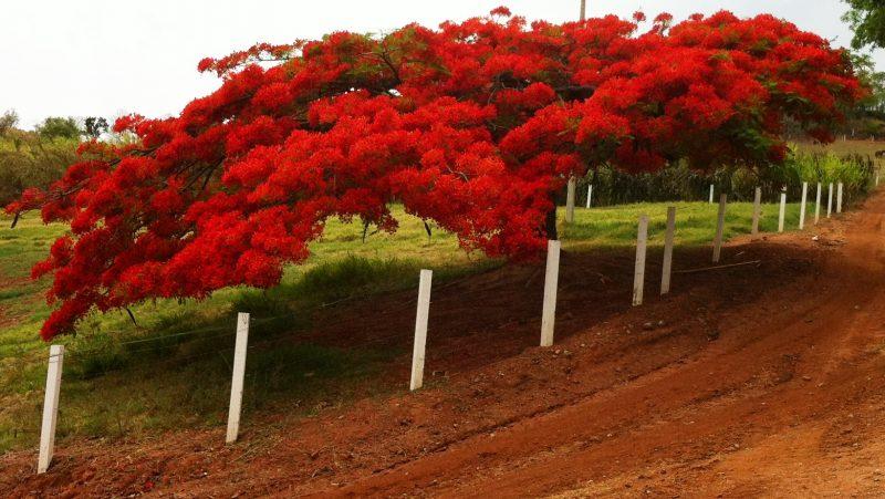"""Делоникс королевский: описание, где растет """"огненное дерево"""", выращивание и уход в домашних условиях"""