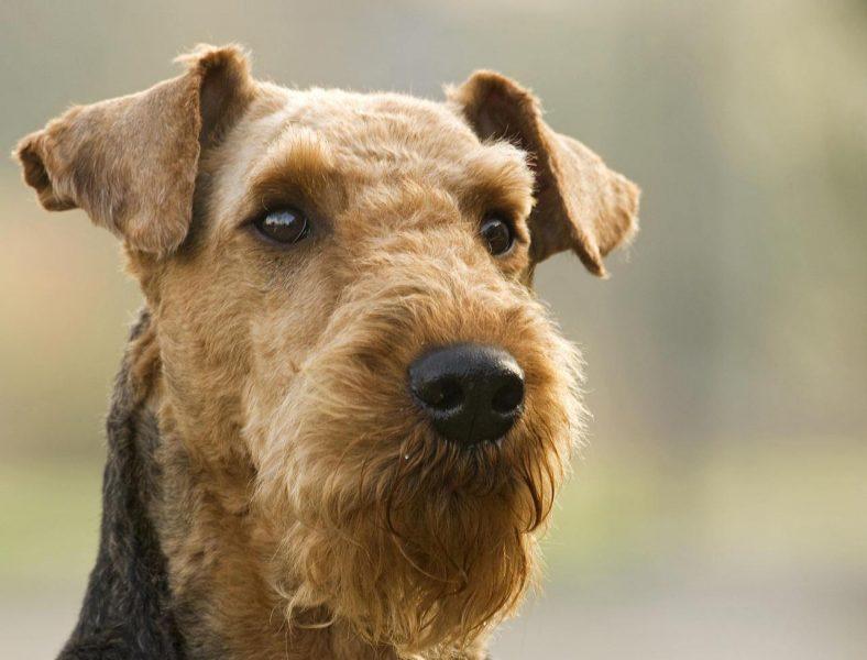 порода собак эльдертерьер фото продажа вторички