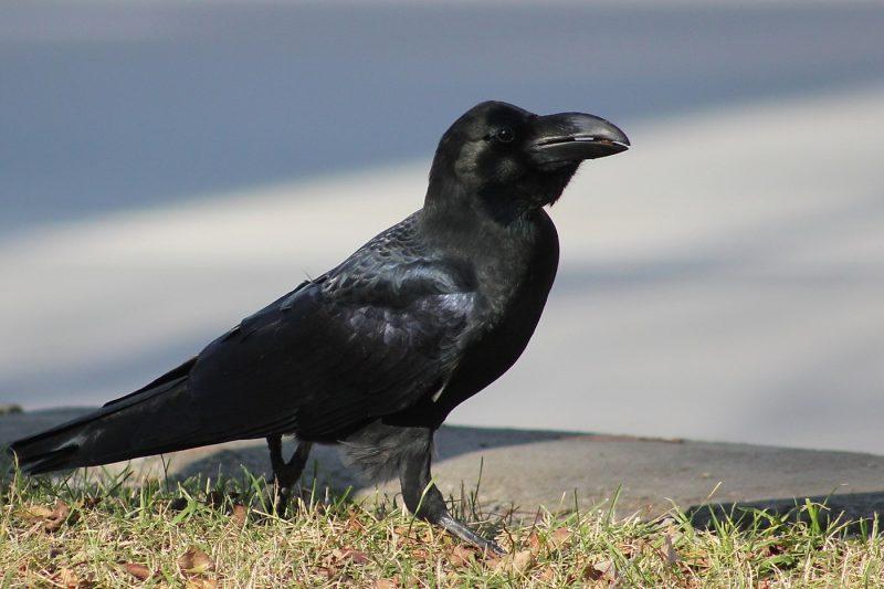 К чему снится черная ворона сонник черная ворона во сне