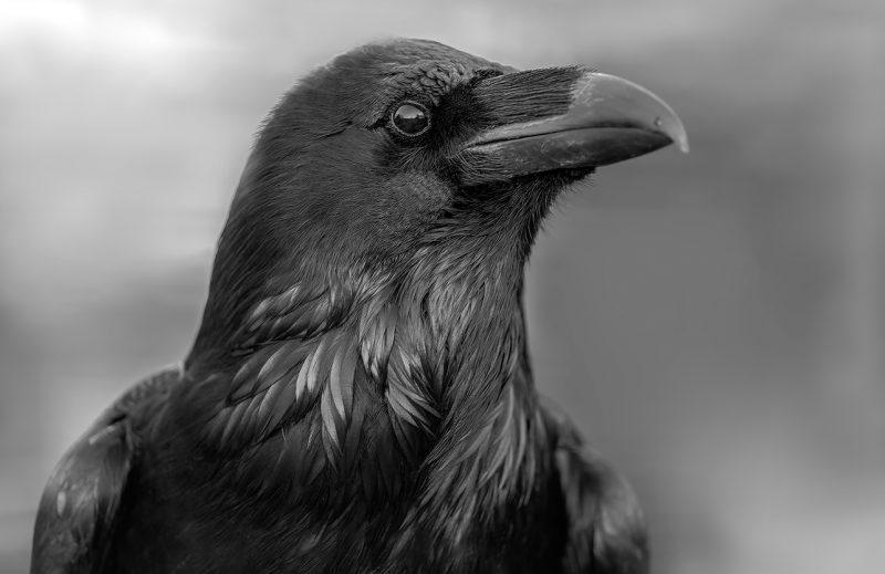 Сонник толкование черная ворона