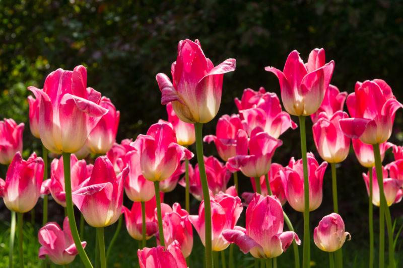 Сонник тюльпаны во сне к чему снятся тюльпаны