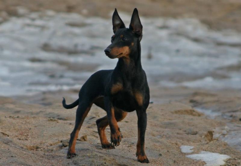 Английский той-терьер: описание породы, уход, кормление и воспитание маленькой собаки