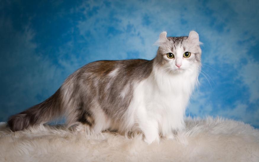 Американский керл (american curl): описание породы кошек, разновидности, кормление, уход и содержание