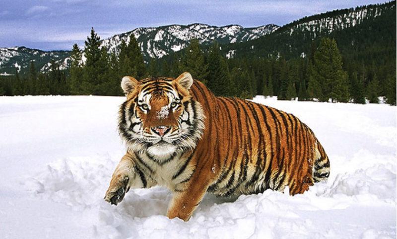 Туранский тигр: описание, причина вымирания редкого подвида хищников