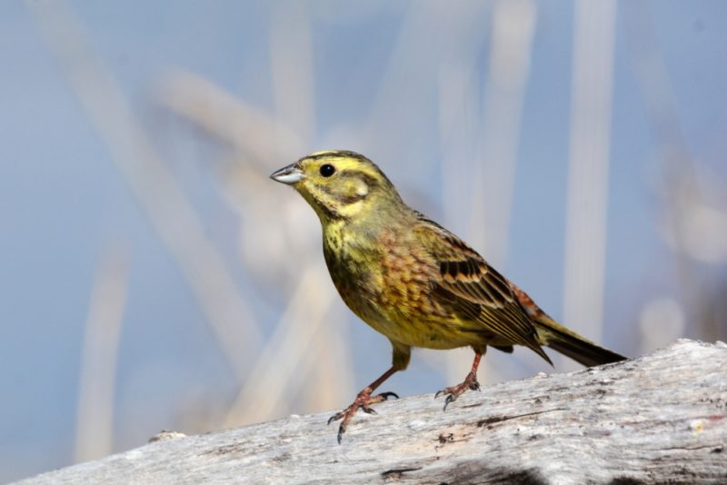Овсянка обыкновенная: описание вида птиц, пение, места обитания
