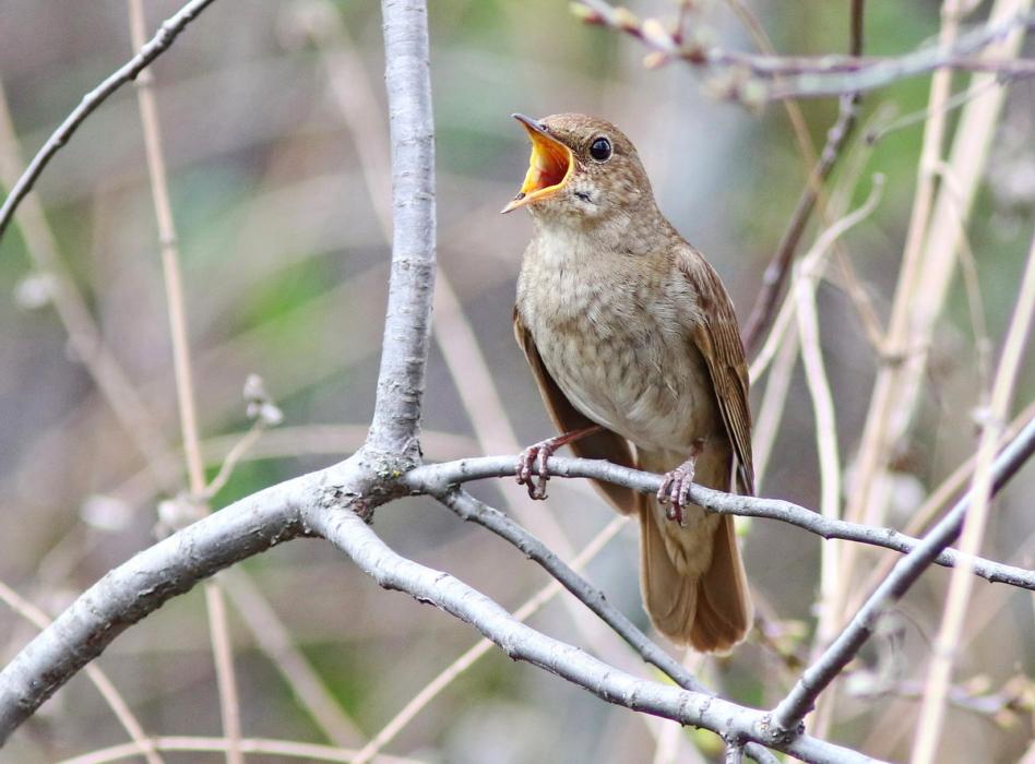фото соловья птицы для