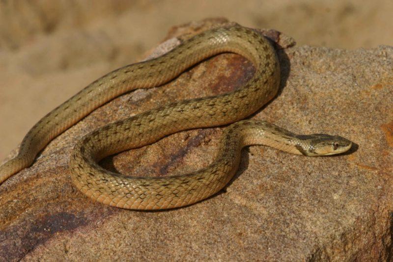 Змеи украины фото описание