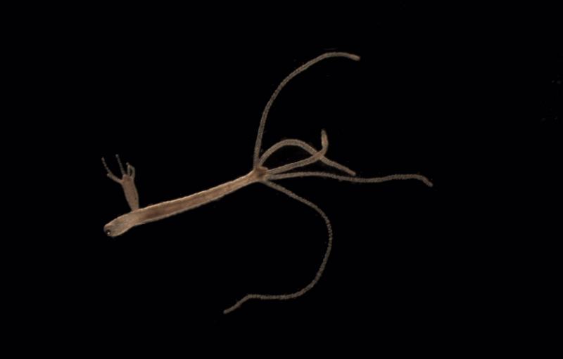 Пресноводная гидра: строение, способ питания, форма размножения, где обитает