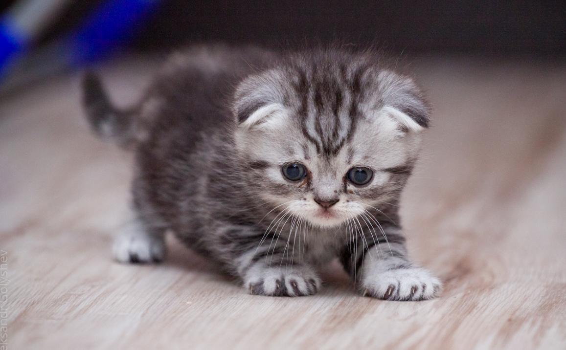 картинки маленькие котята вислоухие котята зарплата, квартира, невеста