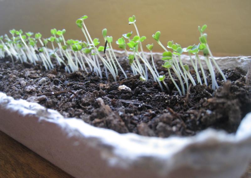 Рукола – выращивание и уход в открытом грунте и на подоконнике