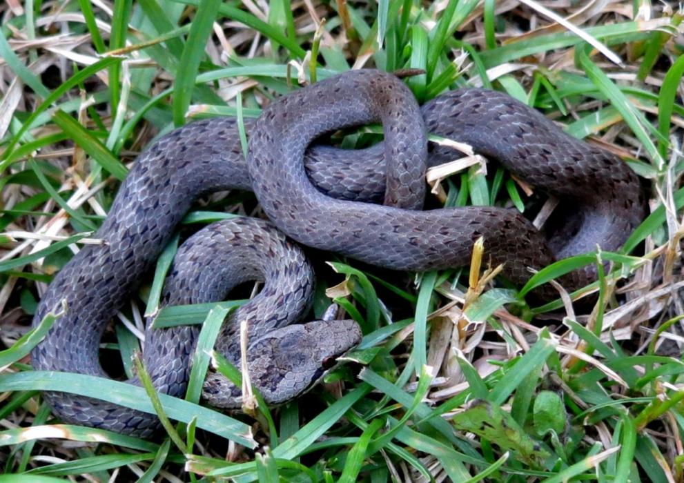Змея медянка ядовитая или нет фото