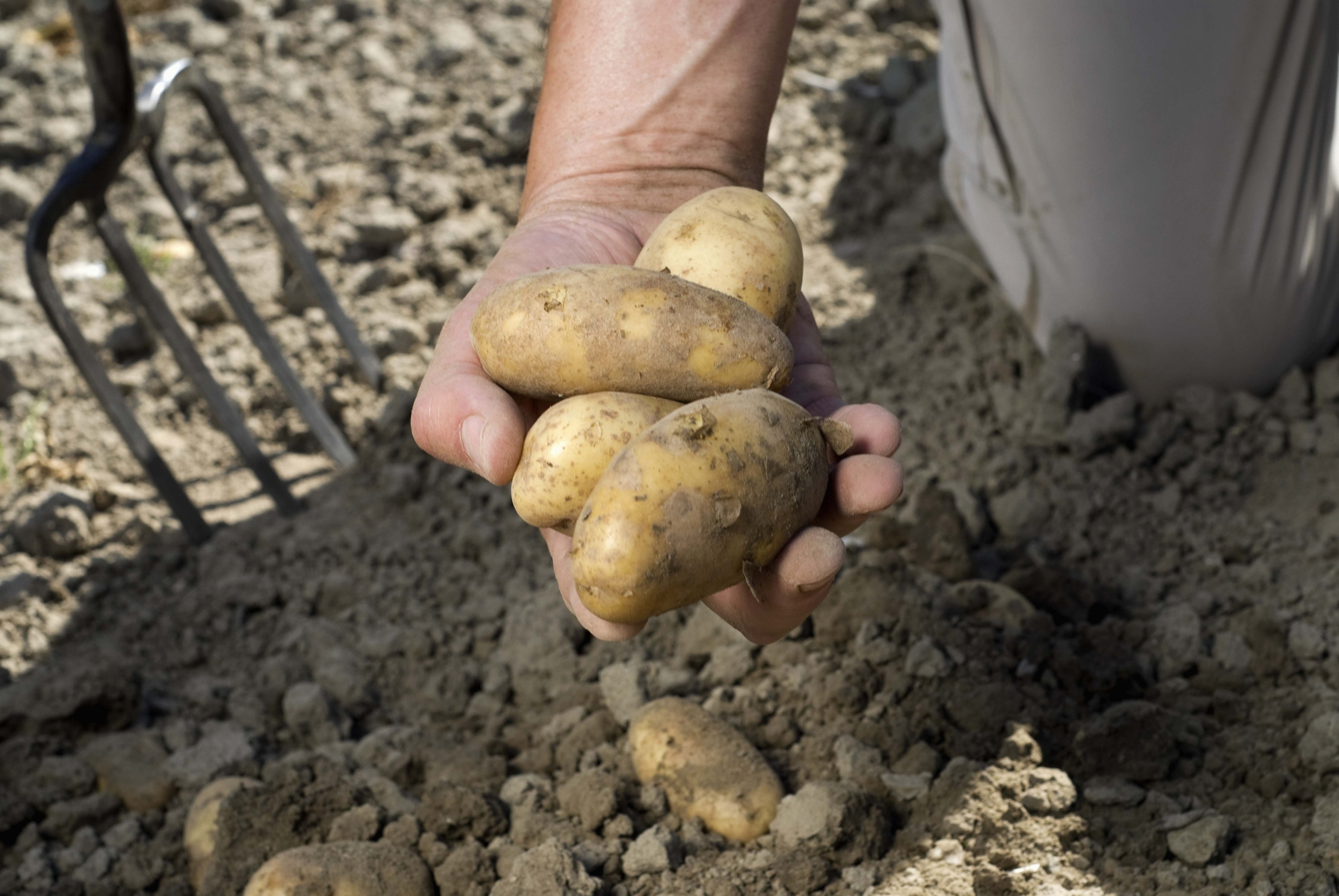 Сонник копать картошку крупную