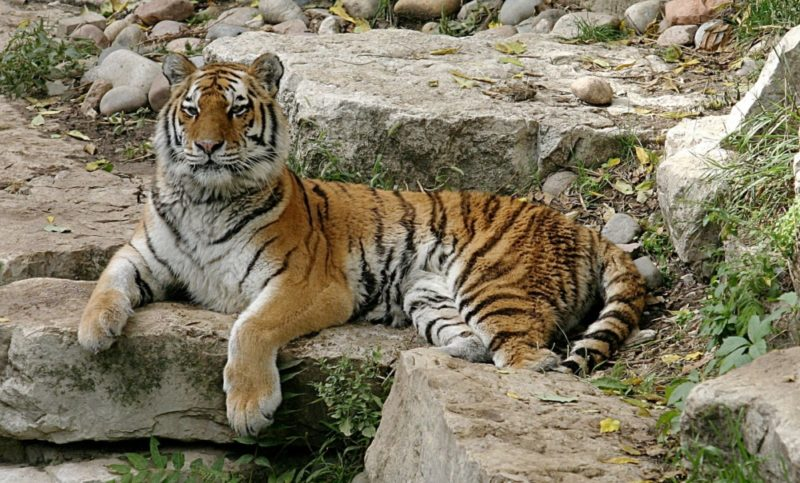 Сибирский тигр(амурский) – самый большой в мире: описание подвида, среда обитания и образ жизни крупнейшего хищника семейства Кошачьих