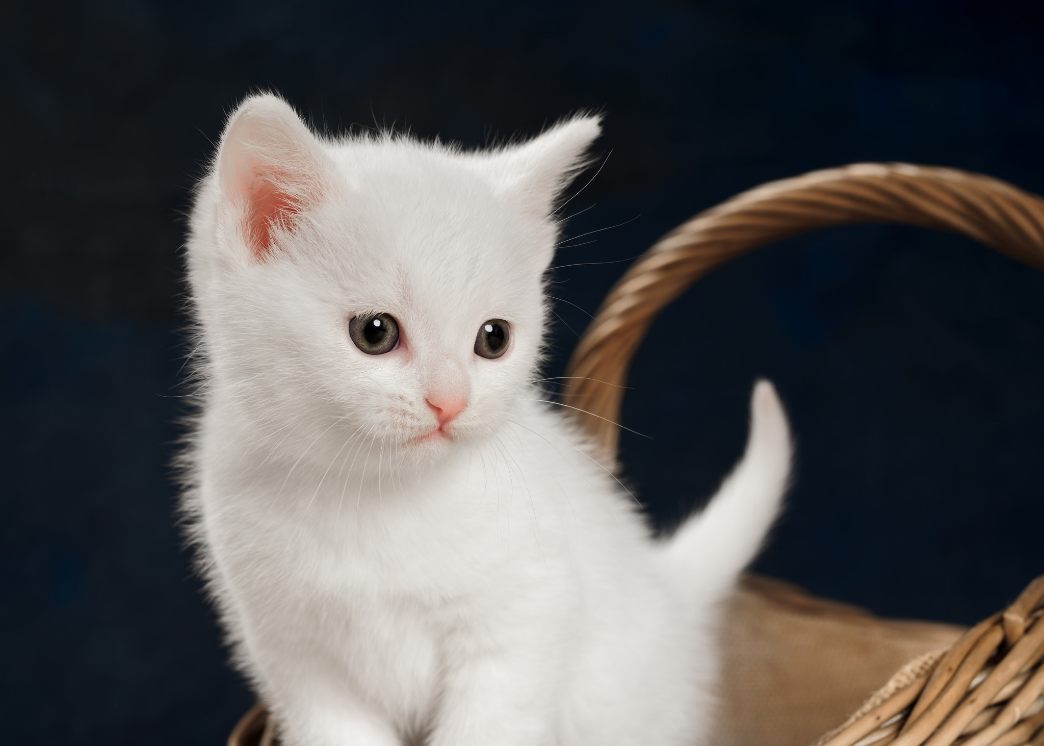 К чему снится белый котнок