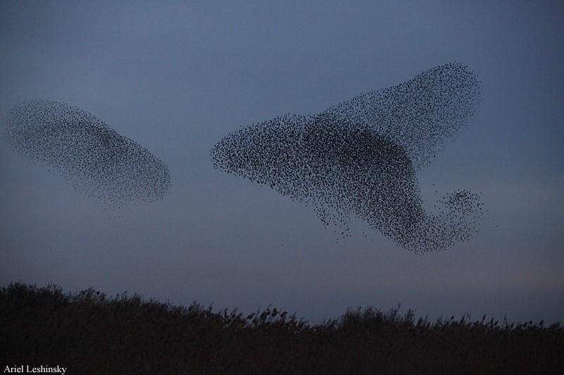 Удивительный танец птиц: работы израильского фотографа Ариэля Лешинского