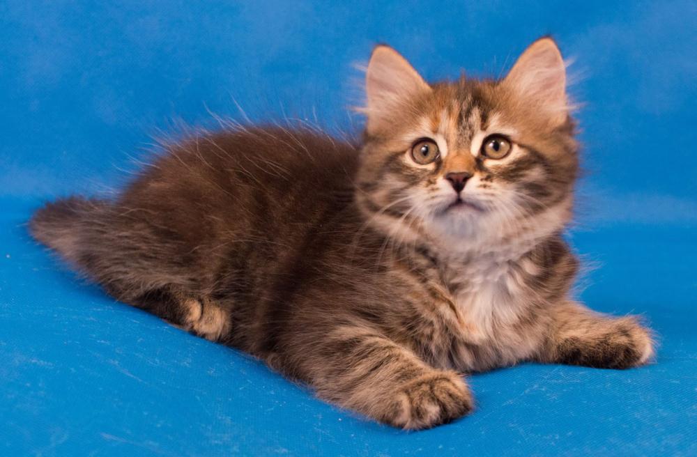сибирские котята фотографии