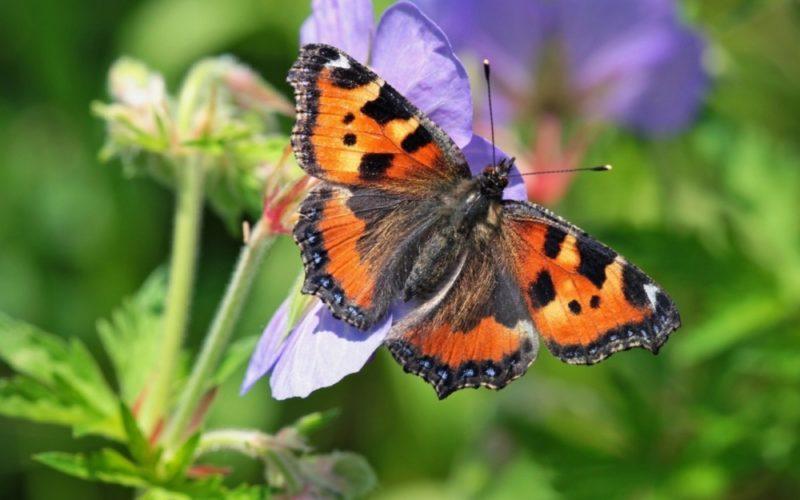 Что едят бабочки крапивницы