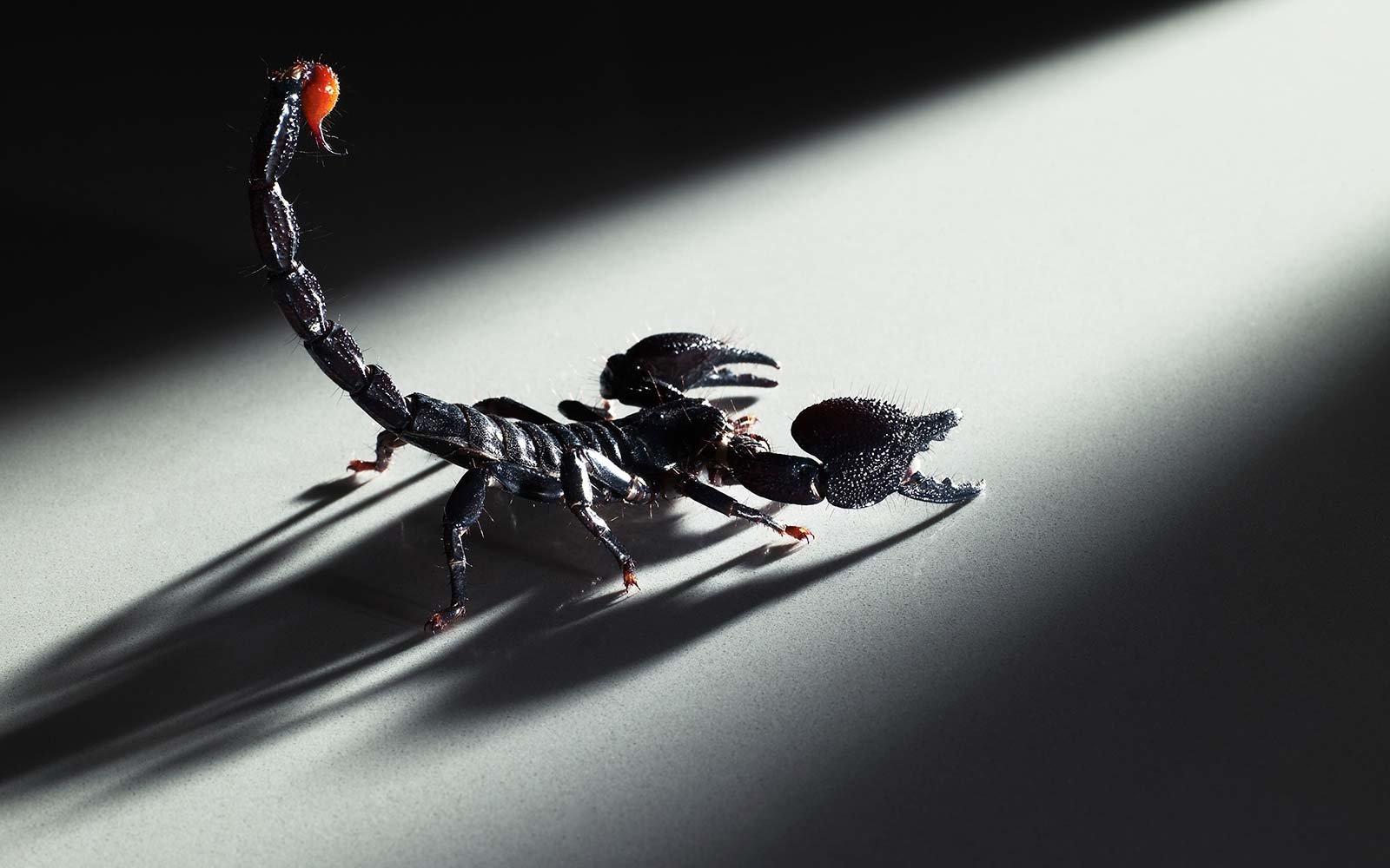 К чему снится скорпион — сонник: скорпион