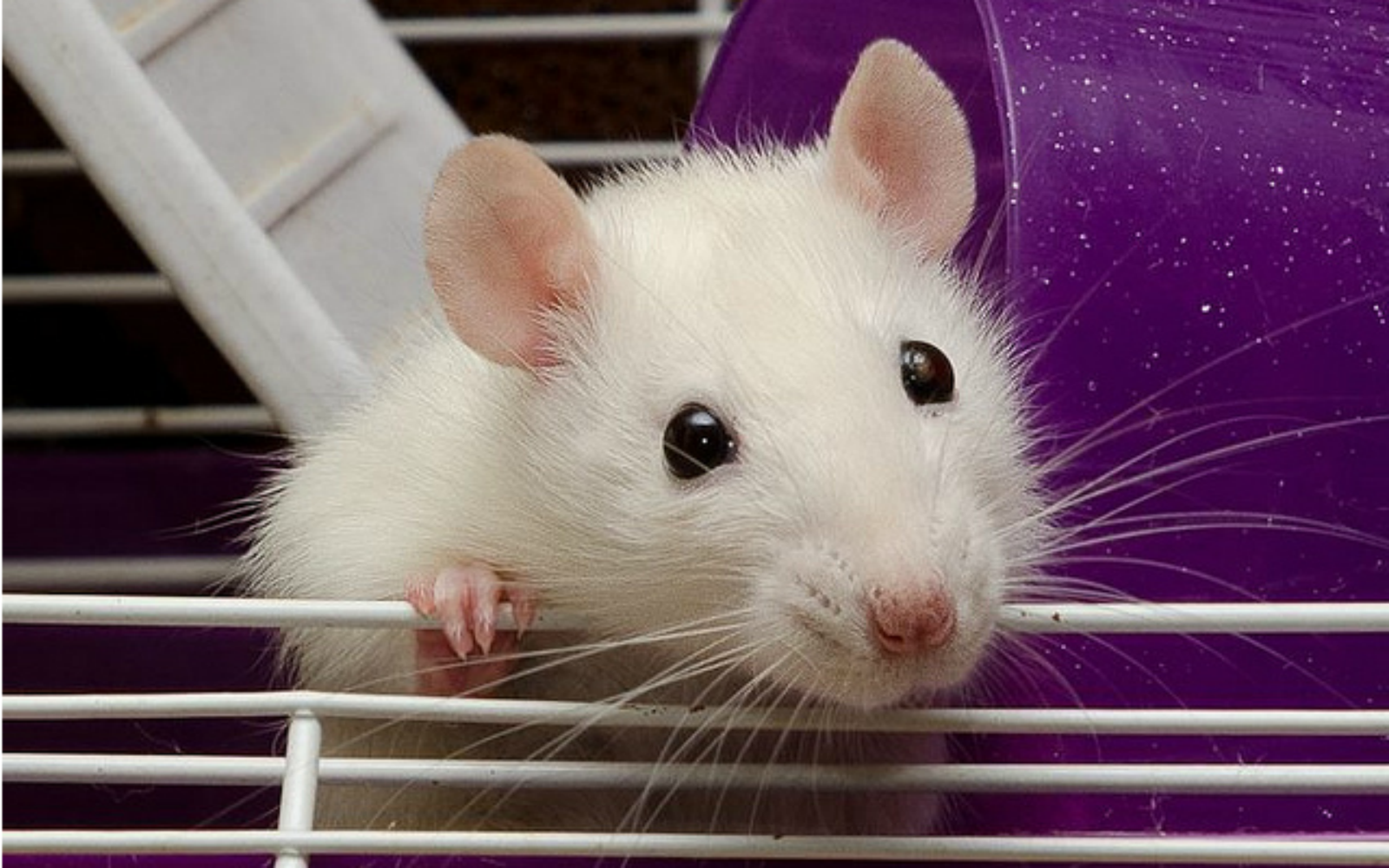 К чему снится белая крыса − сонник: белая крыса