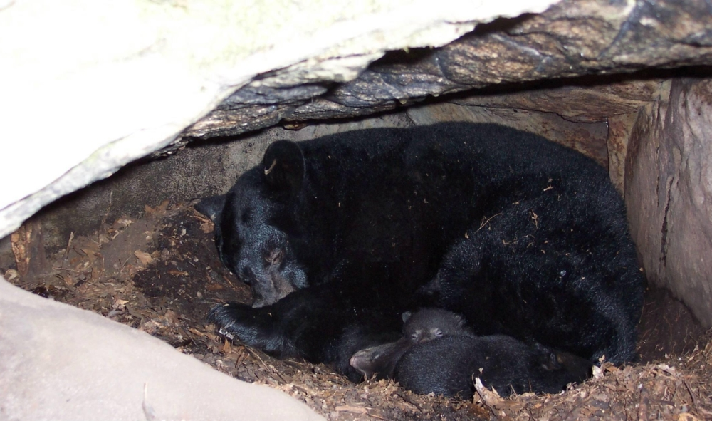 всего, медведь в берлоге фото животного предыдущих