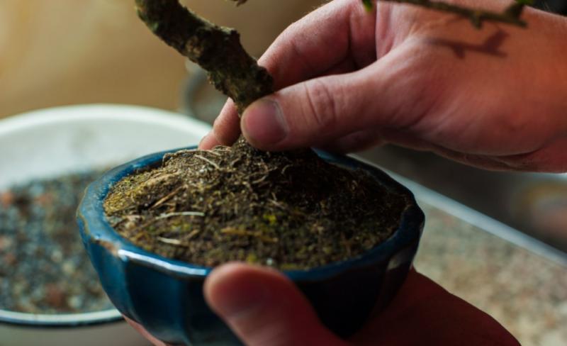 Фикус бонсай: уход в домашних условиях, подходящие виды