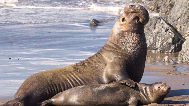 Морской слон − северный и южный: виды как выглядит, где обитает, интересные факты