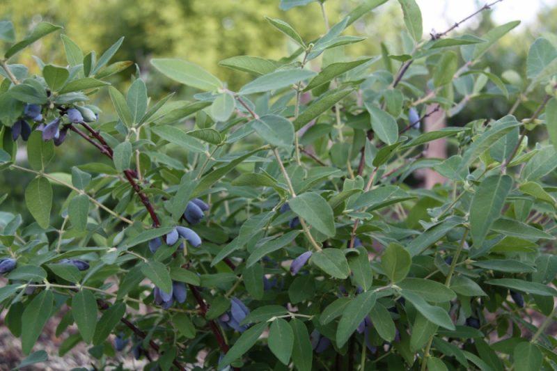 Жимолость Голубое веретено: описание сорта, опылители, посадка и уход, размножение