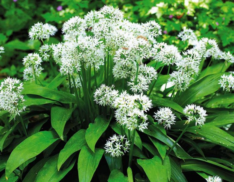 Черемша 🌿: выращивание из семян, посадка в домашних условиях и на грядке, особенности размножения и ухода