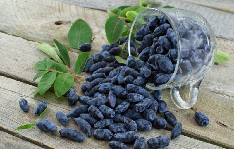 Жимолость Голубое веретено 🌿: описание сорта, опылители, посадка и уход, размножение