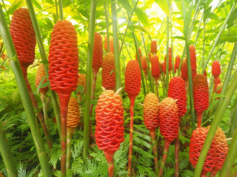Как цветет имбирь в домашних условиях и в открытом грунте 🌱, выращивание и уход