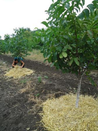 Мульчирование почвы жимолости и плодовых деревьев