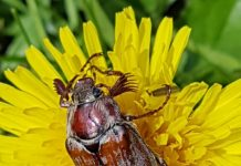 Усики и выпуклые глазки придают жуку трогательное выражение.