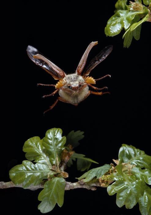 Майский жук летает, нарушая все законы аэродинамики. Но он этого не знает и продолжает летать.