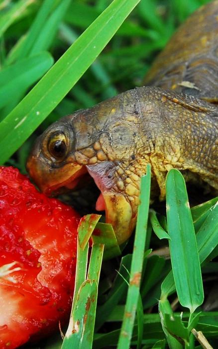Любимое лакомство черепахи.